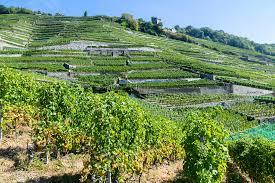 Les vignobles de Saumur